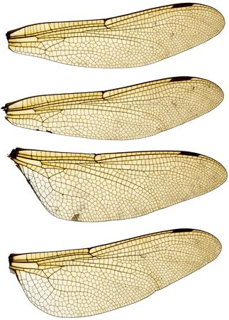 High resolution scan of a set of four dragonfly wings.  Stock Photo - 3459513