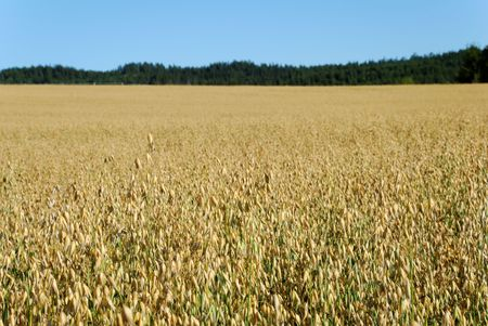 Horizontal image of an oats field with a forest and sky in the background