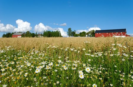 Daisies by the side of an oats field with a Norwegian farm in the background.