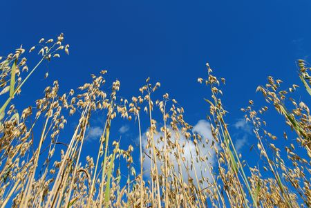 Low angle view of oat straws against deep blue sky and a puffy cloud, lit by evening sun.