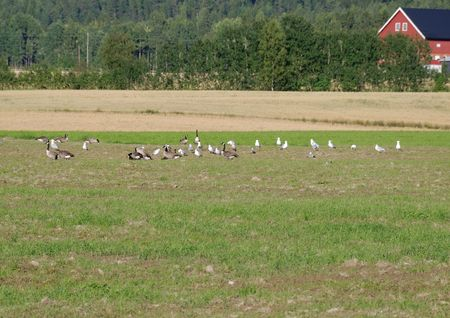 Canadian geese and seagulls feeding on a field.
