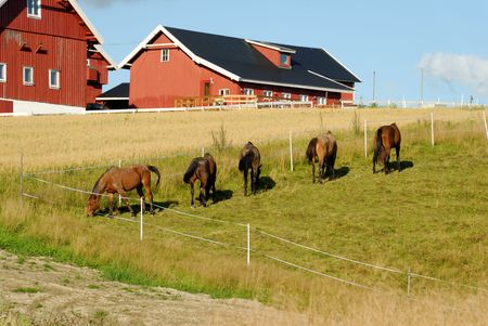 Five horses, grazing in a fold by a farm with an oats field.  Stock Photo