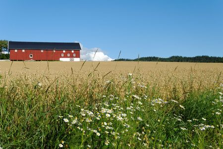 Daisies by the side of an oats field with a red barn in the background. Typical Norwegian scene.
