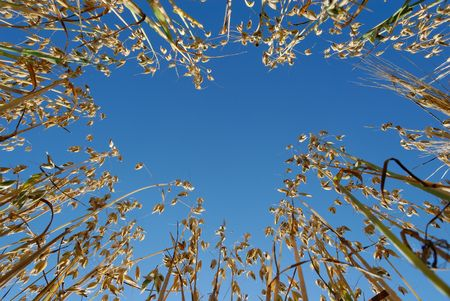 Ground-up view on oat straws against blue sky. Stock Photo - 3478051