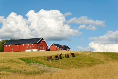 Five horses, grazing in a fold by a farm with an oats field. Nice fluffy clouds above.
