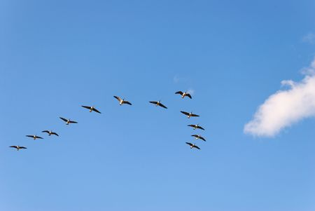 The wedge-like flock of Canadian Geese in flight.