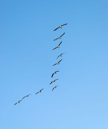 The wedge-like flock of Canadian Geese in flight. Stock Photo - 3486714