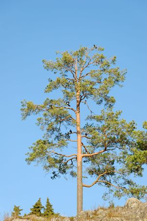 A lonely pine tree with crows and magpies in its branches.  Stock Photo