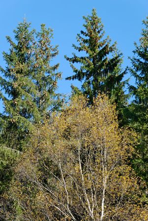 Portrait of an autumn birch, surrounded by tall fir trees.  Stock Photo