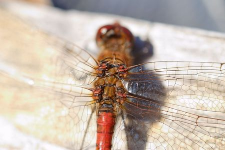 A 1:1 magnification of a dragonfly's wing joints  Stock Photo - 3571306