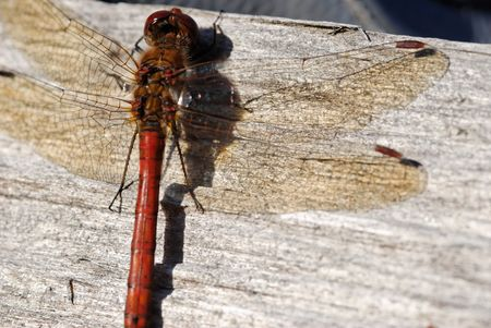 A dragonfly sitting on wooden surface.  Stock Photo