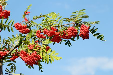 A branch heavy with red Rowan berries against clear blue sky.