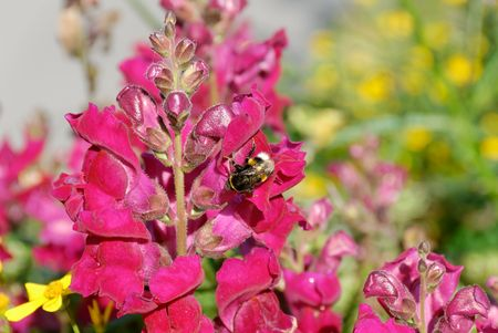 Bumblebee sitting on Snapdragon flower.