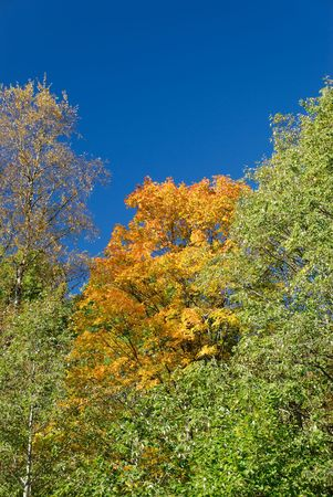Yellow maple, surrounded by greener trees and polarised blue sky.
