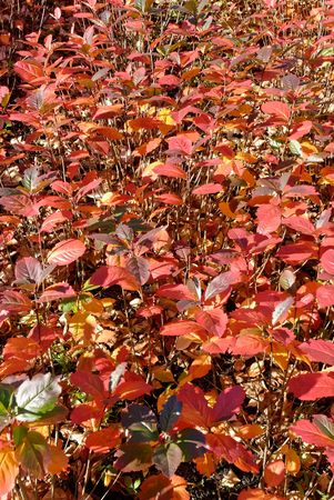 A bush, covered with red autumn leaves