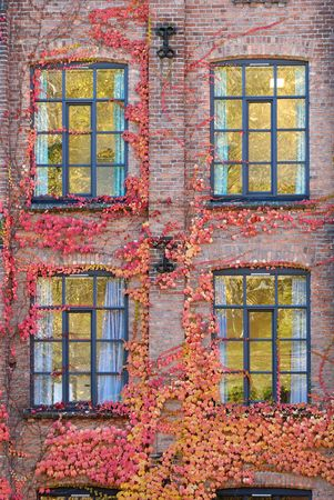 Ivy covered brick wall with four windows.  Stock Photo