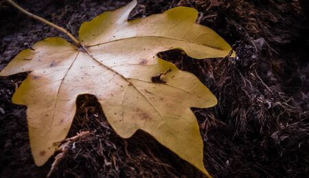 Yellow maple leaf in autumn on stale grass