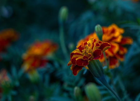 Tagetes flowers with leafs on dark background