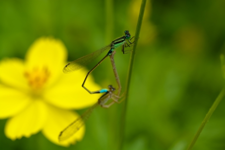 mated: A pair of mated small blue dragonflies on a grass stalk  Stock Photo
