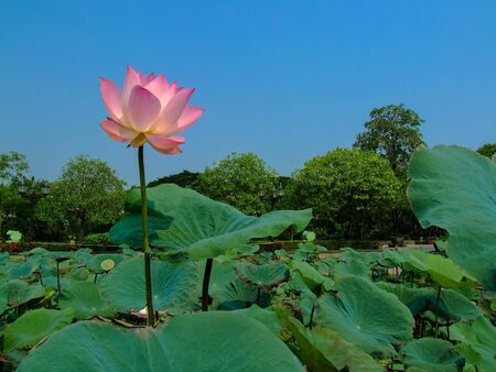 saun: Sacred Lotus Saun Sirikit Park,Bangkok Thailand  Stock Photo