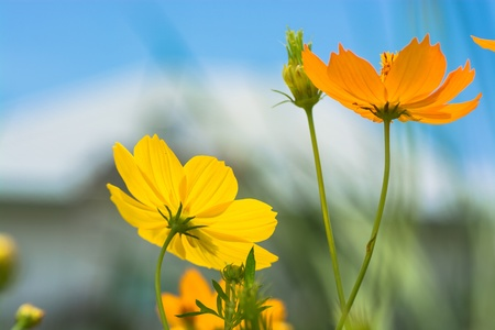 vague: Orange and Yellow Cosmos flowers with a vague view of a house in the background