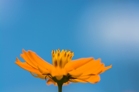 yelllow: Yelllow Cosmos flower  in the midday sun against blue sky