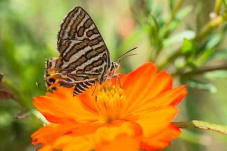 silverline: Common Silverline butterfly on Orange Cosmos Flower  Stock Photo