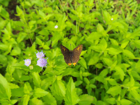 silverline: Common Silverline butterfly on weed leave