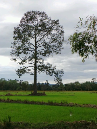 ricefield: Big tree in a ricefield