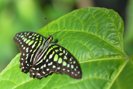 appendages: Tailed Jay Butterfly