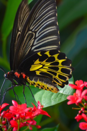 appendages: Common Birdwing-Butterfly
