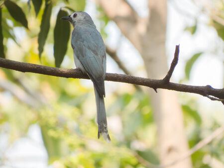ashy: Ashy Drongo-Bird