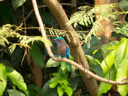 taxonomy: Indian Roller-Bird