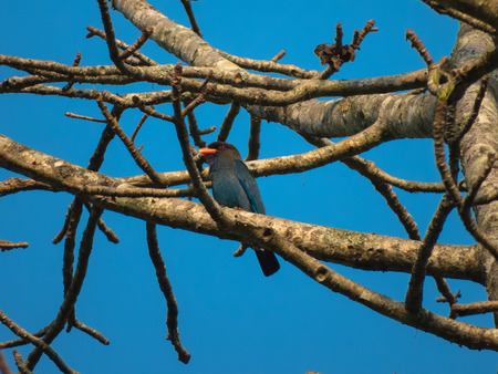 taxonomy: Dollarbird