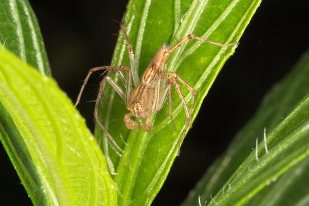 appendages: Lynx Spider on green leaf against dark background  Stock Photo