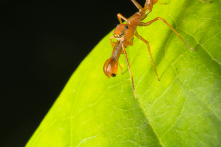 mimic: A spider that mimic himself as a weaver ant