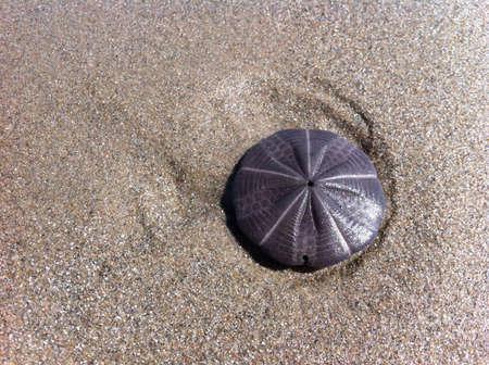 Sand dollar at low tide.