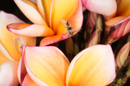 appendages: Caterpillar on frangipani