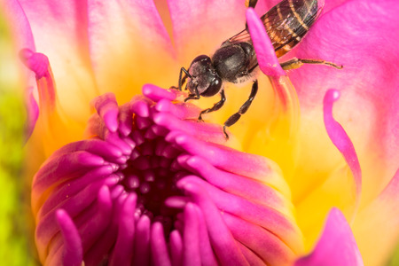 appendages: Bee inside pink lotus