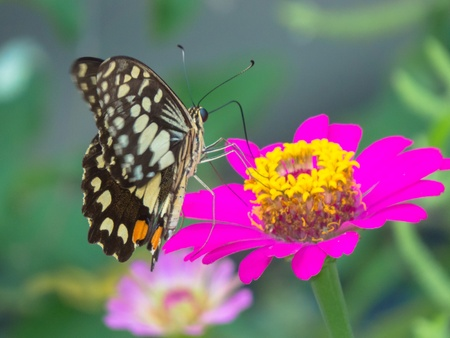 compound eyes: butterfly on pink zinnia flower.