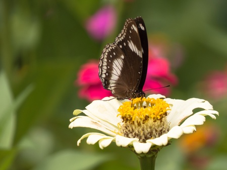 compound eyes: Danish Egg-Fly butterfly on white zinnia flower.