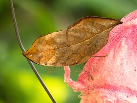 red: Vista lateral de un indio mariposa de hoja de roble en la esponja empapada de red que contiene jarabe de atraerlos.