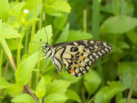 appendages: Lime butterfly