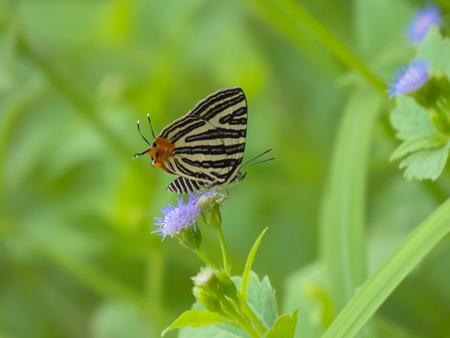 silverline: Small Long-Banded Silverline butterfly