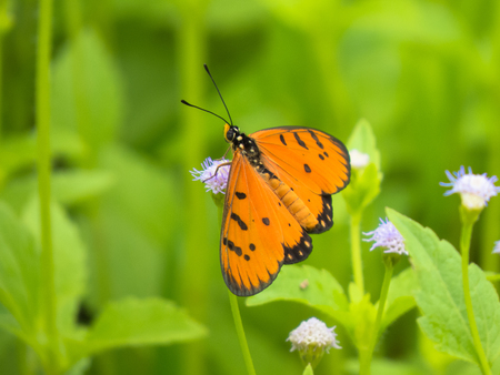 appendages: Tawny coaster butterfly