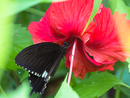 appendages: Common Mormon butterfly