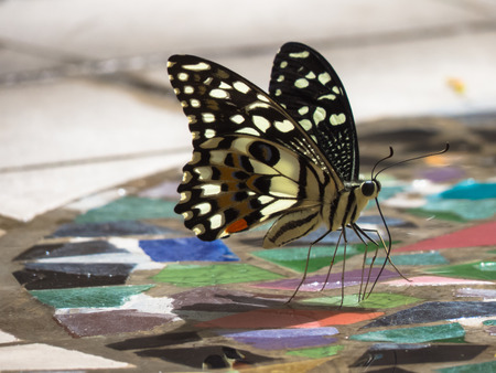 appendages: Lime butterfly sipping mineral out from a puddle on the floor made from broken tiles  Stock Photo