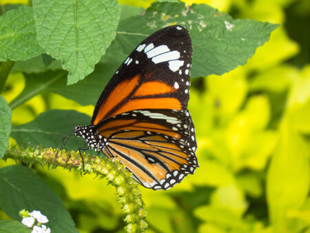 appendages: Common Tiger butterfly