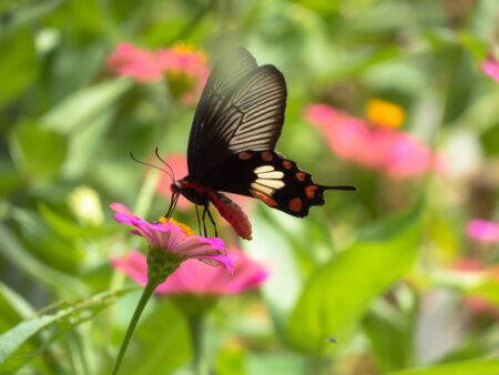 appendages: Common Rose Butterfly  Stock Photo