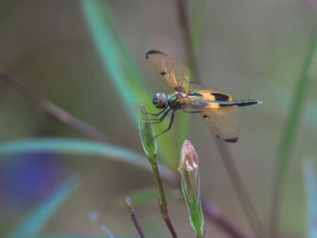 wingtips: Orange wings with chocolate brown wingtips dragonfly against ancanthaceae bush background  Stock Photo